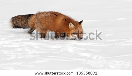 Red Fox (Vulpes vulpes) Trots Right - With Copy Space - captive animal