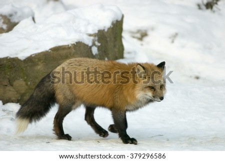 Red Fox walking