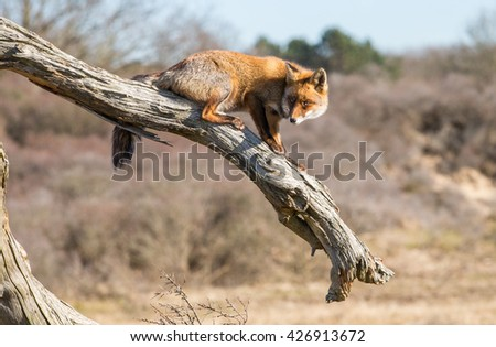 Red fox walking on top of a dead tree - stock photo