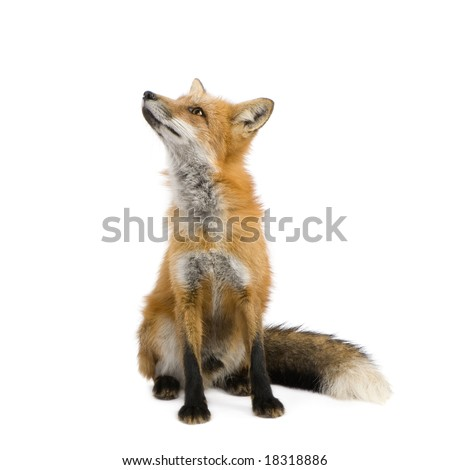 Red fox (4 years) - Vulpes vulpes in front of a white background - stock photo