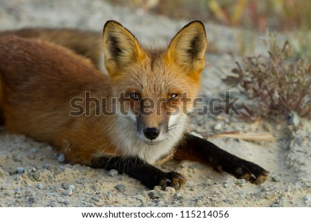 red fox - yukon territory (Canada) - stock photo