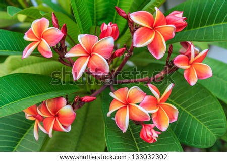 red frangipani flowers and green leaves. - stock photo