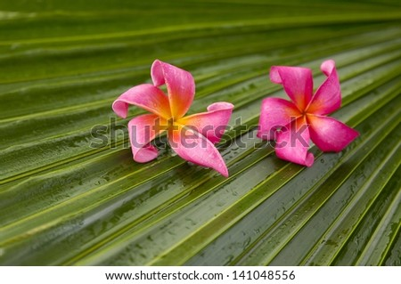 Red frangipani flowers and wet palm leaf - stock photo