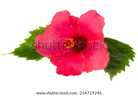red  fresh  hibiscus  flower with green leaves isolated on white background - stock photo