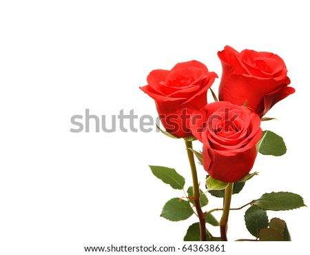 red fresh roses on white background. space for your text - stock photo
