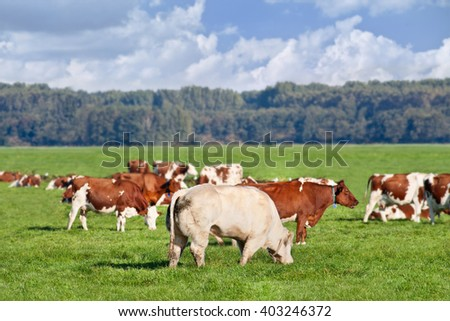 Red Frisian-Holstein cows grazing in a green meadow with a bull on the foreground, The Netherlands. - stock photo