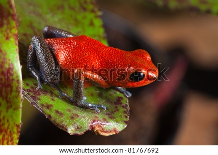 red frog from Costa Rica or panama poison dart frog on leaf in central American rain forest. . Beautiful poisonous pet animal. Endangered amphibian of the tropical jungle. strawberry frog - stock photo