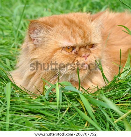 Red funny cat lying in the green grass