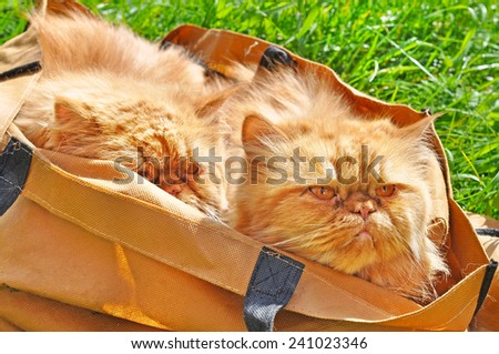 red funny cats in a bag - stock photo