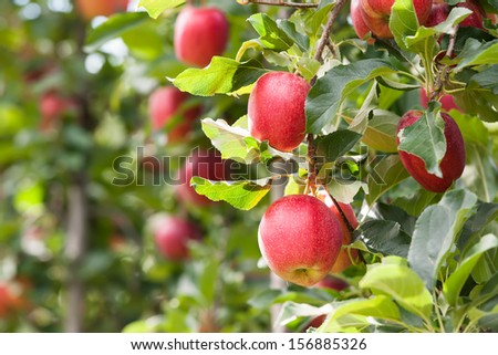 Red Gala apples, hanging in a tree. - stock photo
