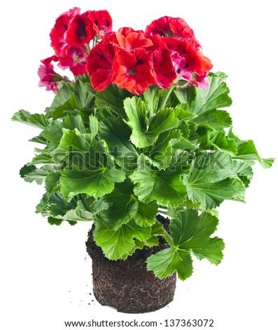 Red geranium flower in soil flowerpot isolated on white background - stock photo
