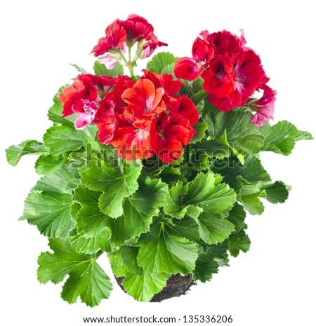 Red geranium flower  isolated on white background - stock photo