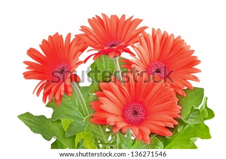 Red Gerber Daisy isolated on white background