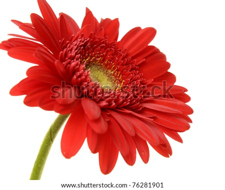 Red gerbera blossom isolated â??close up - stock photo