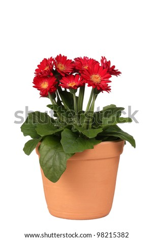 Red Gerbera Daisy Pot plant - stock photo