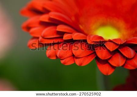 red Gerbera flower macro - stock photo