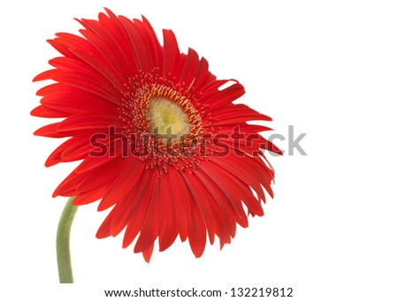 Red gerbera flower on white