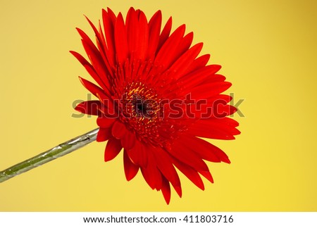 Red gerbera isolated on yellow background. Close up - stock photo