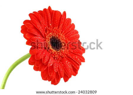 Red gerbera with dew drops