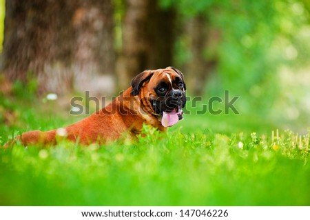 red german boxer dog  - stock photo