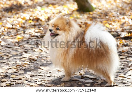 red  German spitz dog in the autumn forest - stock photo