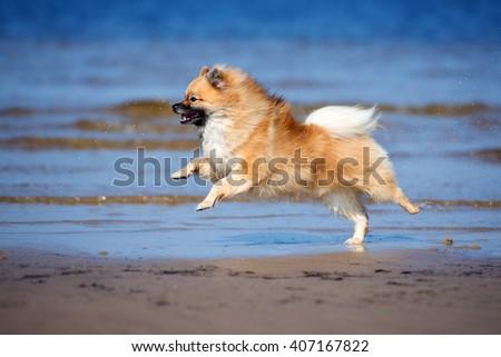 red german spitz dog running on the beach - stock photo