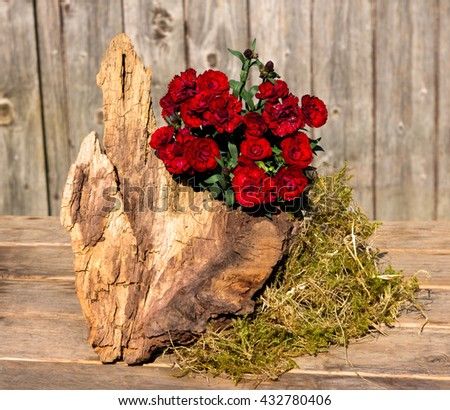 Red gillyflowers or sweet williams decorated on a wooden table with a root and moss.