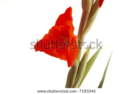 Red Gladiolus on a white background
