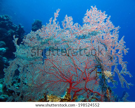 Red gorgonian fan coral  - stock photo