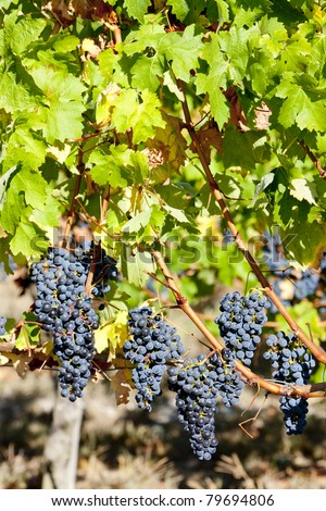 red grape in Bordeaux Region, Aquitaine, France - stock photo