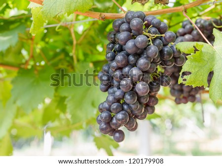 Red Grape on the vine  in vineyard before harvest