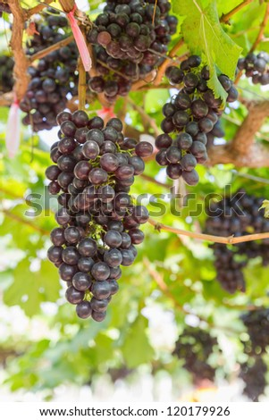 Red Grape on the vine  in vineyard before harvest - stock photo