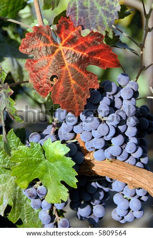 Red Grapes at Harvest Time - stock photo