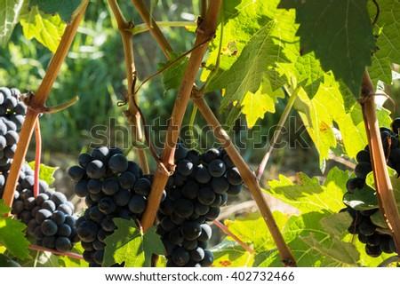 Red grapes in a vineyard, La Rioja (Spain) - stock photo