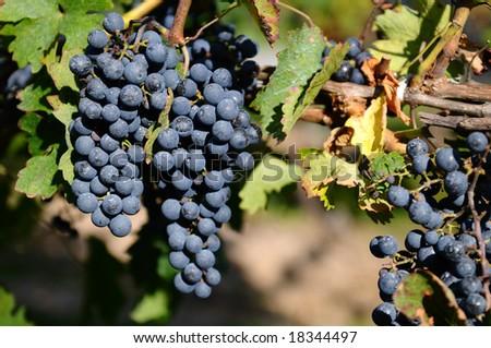 Red grapes in a vineyard on Niagara Peninsula, Canada - stock photo