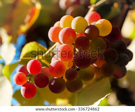 Red grapes in sunset lights. Shallow DOF - stock photo