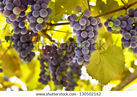 Red grapes in the vineyard with yellow leaves - stock photo
