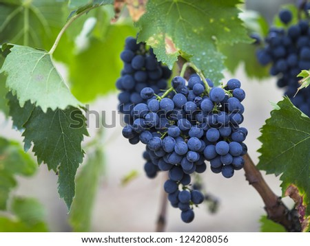 Red grapes on the vine in a close-up image - stock photo