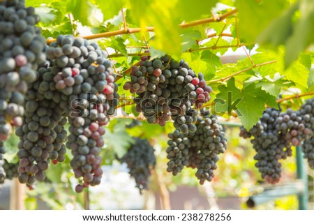 Red Grapes on the Vine  which will be used to make wine . - stock photo