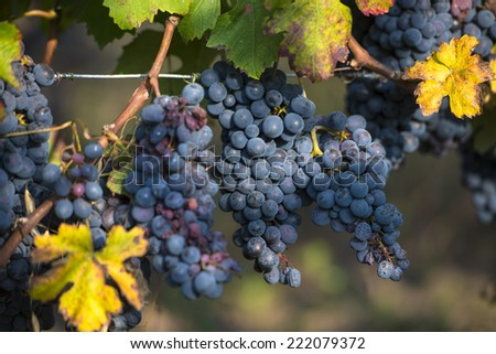 red grapes with fall vineyard leaves - stock photo