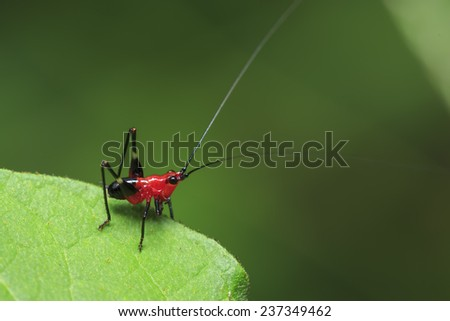Red grasshopper insect on green leaf - stock photo