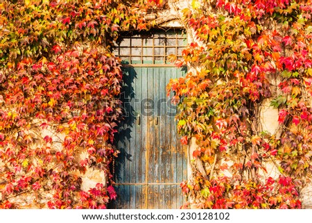 Red, green and orange leaves of a Japanese Creeper or parthenocissus tricuspidata veitchii  in autumn framing and surrounding an old grunge door in a tipical farmer house in Italian countryside - stock photo