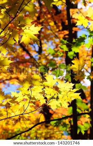 Red, green and yellow maple leaves in fall - stock photo