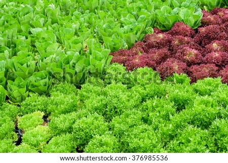 Red,green  Leaf Lettuce and Cos Lettuce - stock photo