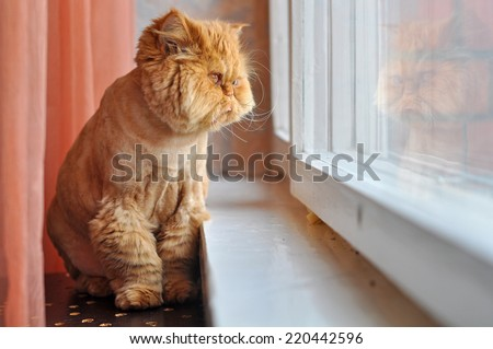 Red grooming cat is sitting next to the window. Cat looking out the window and dreaming.  - stock photo