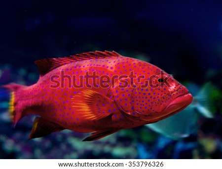 red grouper (cabrilla, hamlet, hilus) - stock photo