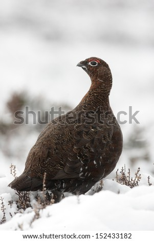 Red grouse, Lagopus lagopus scoticus, male, winter, Scotland       - stock photo