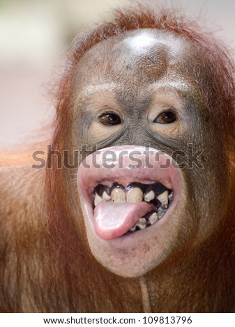 red hair chimpanzee kidding and showing his tongue and teeth