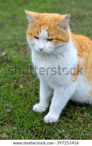 Red-haired cat with a white belly sitting on green grass. Photo of a beautiful cat. Portrait of red-haired stray cat.