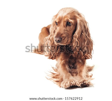 Red-haired cocker spaniel lying - stock photo